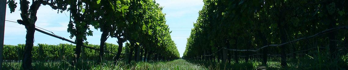 Kent Vineyards